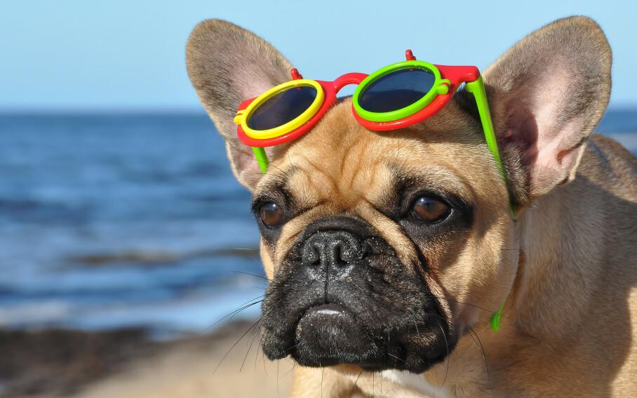 SOLBRILLENE PÅ: Her bør alle bruke solbriller i sommer - også familiens firbeinte. FOTO: NTB Scanpix