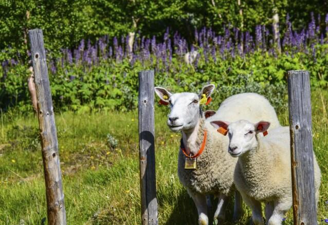 <strong>BÆÆ:</strong> Få nærkontakt med sauer og andre gårdsdyr gjennom nettverket WWOOF. Medlemskapet koster noen hundrelapper, men oppholdet med gårdene er gratis. FOTO: Ronny Frimann