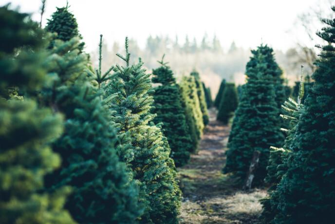 JULETRE: Hvert eneste år står flotte trær på rekke og rad klare for å selge og innta sine nye hjem. Foto: NTB