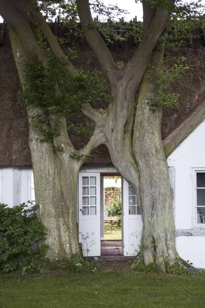 Dobbeltdøren til hovedhuset er omkranset og til dels skjult av to store, gamle bøketrær. FOTO: Iben og Niels Ahlberg