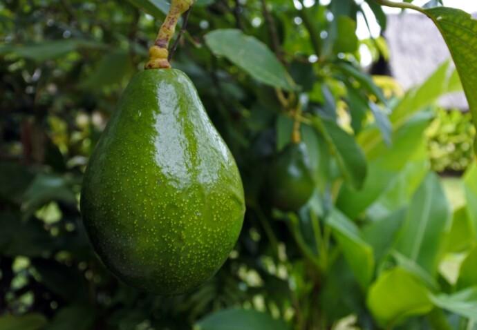 HØYT HENGER DE : ... og harde er de. Er avokadoen høstet for tidlig, vil ingenting hjelpe for å få den myk. FOTO: NTB