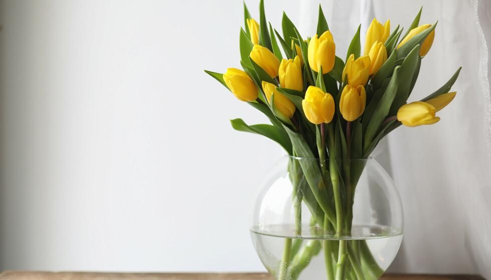 POTETMEL: Et godt tips er å ha potetmel i vannet sammen med tulipanene. Stivelsen gjør nemlig at de holder seg stramme og oppreiste. FOTO: NTB