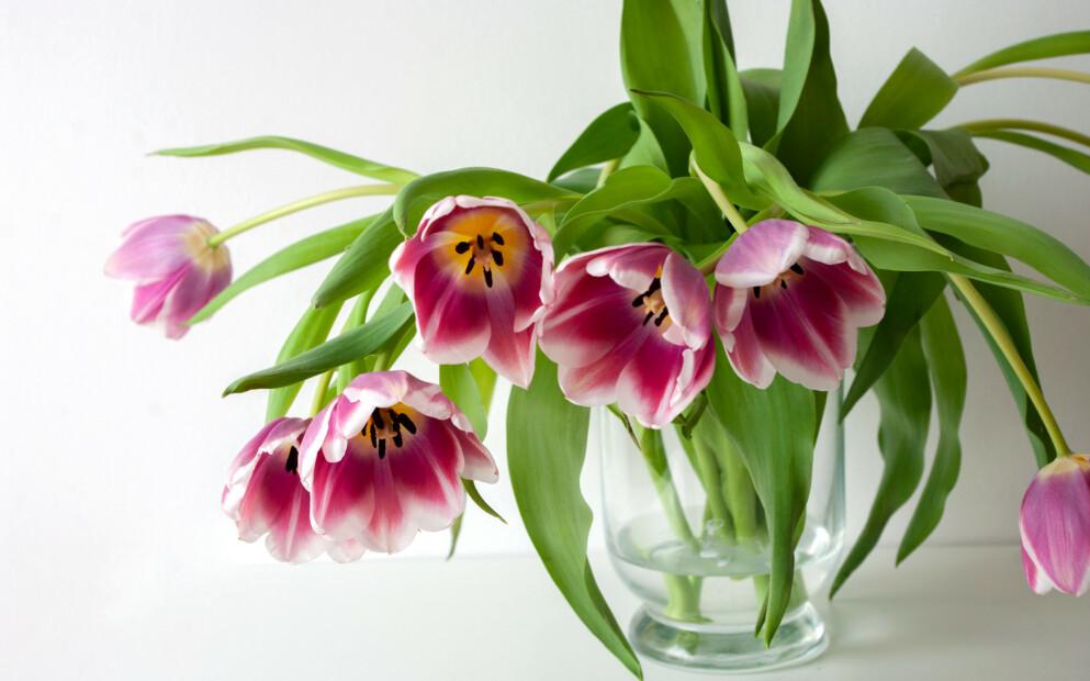 RIKTIG STELL AV TULIPANER: Tulipaner er en av favorittblomstene våre til påske, og kan holde i flere uker dersom vi steller dem riktig. FOTO: NTB