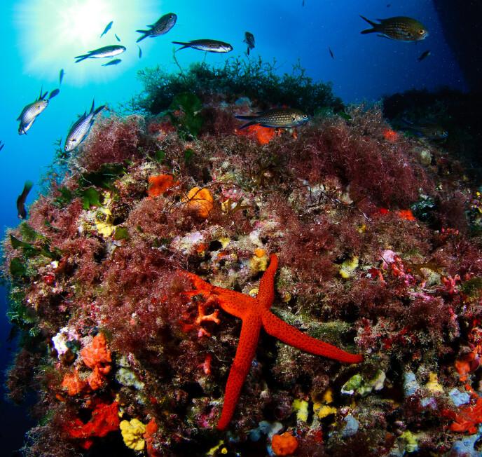YRENDE LIV: Under havskorpen sørger Posidonia-sjøgresset for hjemsted og gjemmested for et utall dyre- og plantearter. Det gjør øyas farvann til et av verdens beste dykkesteder!