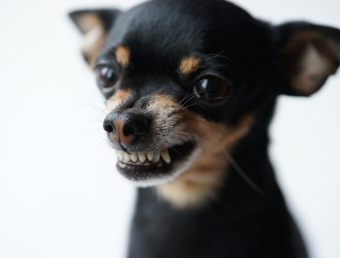 HAN VIL BARE LEKE, ALTSÅ ...: Om du er uerfaren hundeeiere, ta med i regnestykket at både du og hunden kan trenge en runde eller to på skolebenken. FOTO: NTB