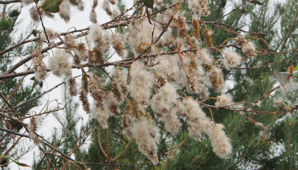 SELJE-SLEKTEN: Bilde av istervier (Salix pentandra) som representant for selje-slekten, og som sprer mest fnokk nå om dagen. FOTO: Jan Inge Iversen Båtvik