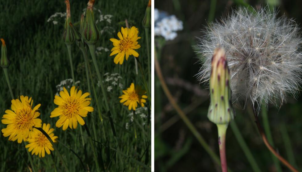 GEITSKJEGG: Geitskjegg-planten før og etter fnokkstadiet. FOTO: Jan Inge Iversen Båtvik