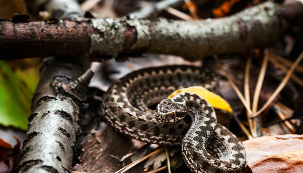 BITT AV HOGGORMUNGE: Hoggormungene er bare rundt 15-20 cm ved fødselen og kan være vanskelig å få øye på når de gjemmer seg i busker og kratt. FOTO: NTB Scanpix
