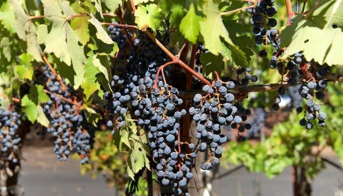 BLIR ROSINER: Stenfrie Thomson-druer blir til deilige rosiner fra California Raisins. Foto: Shutterstock