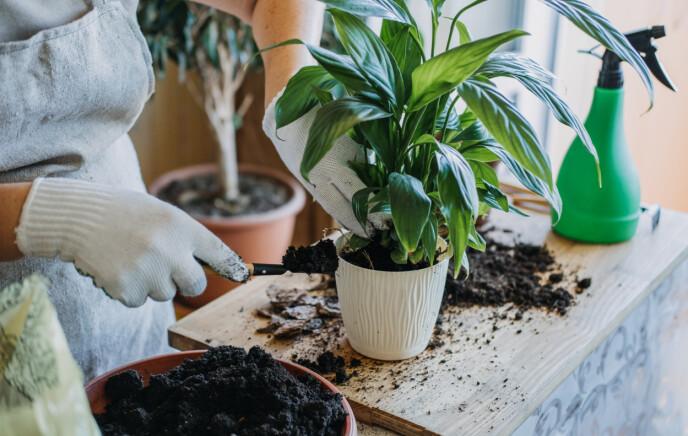 IKKE GLEM DRENERING: - Er det veldig mye vann i bunnen av en tett potte, vil planta opplever dette som drukning, sier eksperten. FOTO: NTB