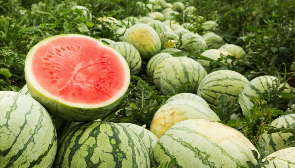 GRESSKARFAMILIEN: Vannmelon er i gresskarfamilien - det betyr både at de vokser på bakken og kan bli ganske store! Foto: NTB
