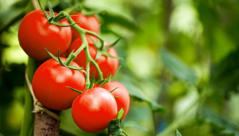 RØDFARGEN: Det er antioksidantet lykopene som gir tomatene den røde fargen. Foto: NTB
