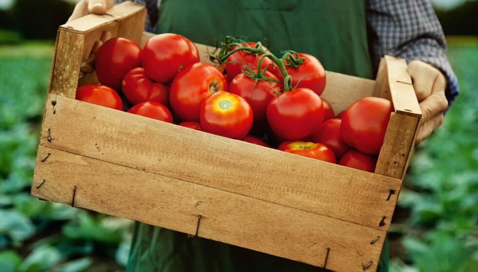 FAVORITT: Tomater er en favoritt over hele verden. I Norge er sesongen fra mai til oktober! Foto: NTB.