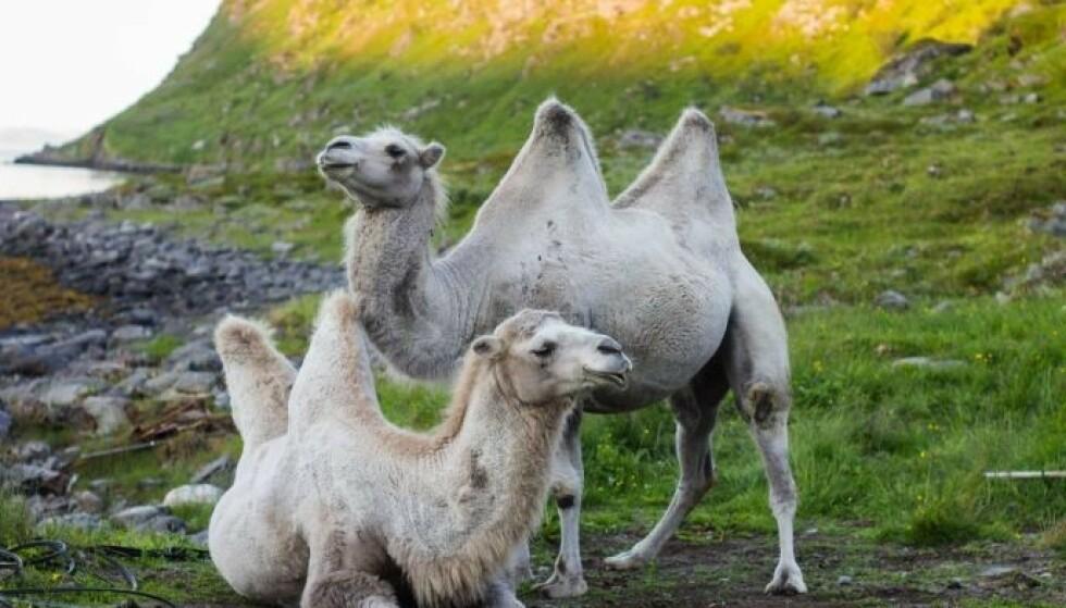 KJENDISER: Kamelene Bor og Bestla - og «kamelfamilien» Sætereng - er også kjent gjennom en dokumentarfilm de har laget: Kamel. Foto: Privat