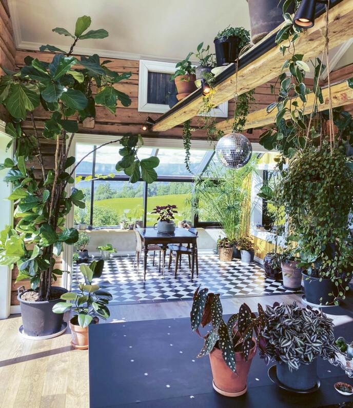 UTNYTTER VEGGER OG TAK: Anders har en forkjærlighet for store planter, og da huset skulle renoveres ble deler av andre etasje fjernet for å skape mer rom. Det ble også satt inn store vindusflater som slipper inn mye lys. FOTO: Plantebonanza/Inger Marie Grini